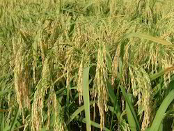 Hybrid Rice Seed, For Rice Farming