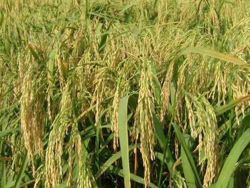 Hybrid Rice Seed, Rice Seeds, धान के बीज - Pure Crop Sciences Private  Limited, Hyderabad | ID: 10439083697
