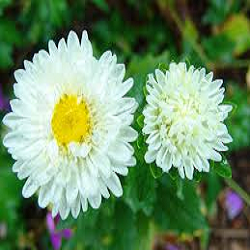 Aster Flower View Specifications Details Of Fresh Flower By A