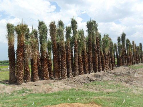 Settled Date Palm Tree - View Specifications & Details of Date Palm