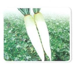 New Spring White Radish Seed