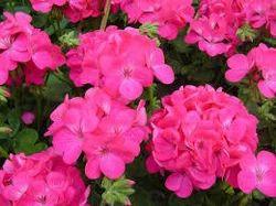 Gerenium Rose