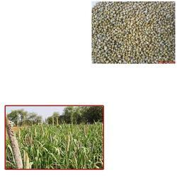 Green Millet for Agriculture