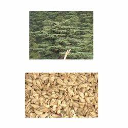 Cedrus Deodara Seeding Stage