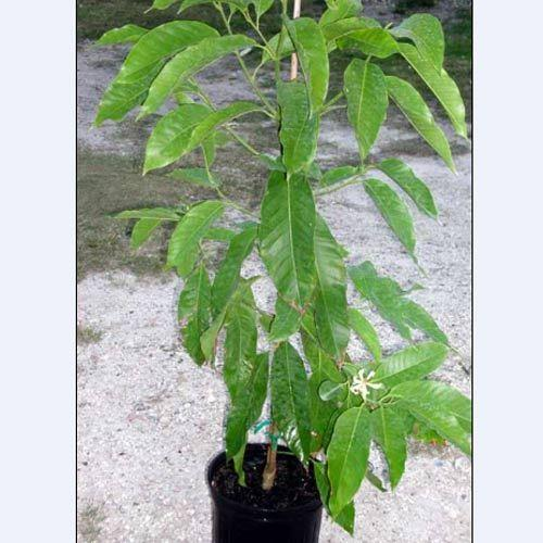 Michelia Champaca Alba Plant