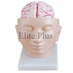 Brain with Arteries on Head Models