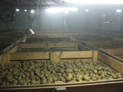 Cold Storage for Potato