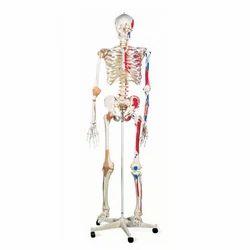 PVC Human Skeleton With Nerves