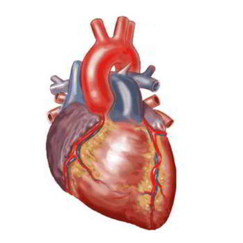 Anatomical Heart - View Specifications & Details of Anatomical ...