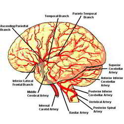 Brain with arteries scientific instruments devices biomedica brain with arteries scientific instruments devices biomedica health care in railway road ambala id 4601760962 ccuart Choice Image