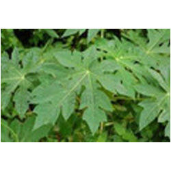 Carica Papaya Leaf Extract, Pack Size: 25 Kg, Packaging Type: Drum