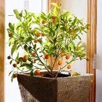 Calamondin Orange Indoor Chennai Green Orchid Nursery