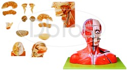 Head & Neck With Blood Vessels Model