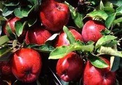 Red Kashmiri Apples