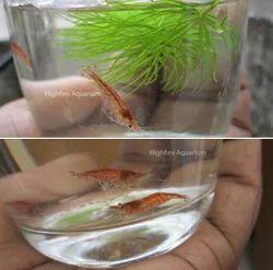 High Fins, Palakkad - Retailer of Live Shrimp and Yellow Shrimp Live