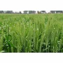 Wheat Seeds Research Variety