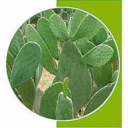 Cactus Extract Hoodia Gordonii प ध क अर क