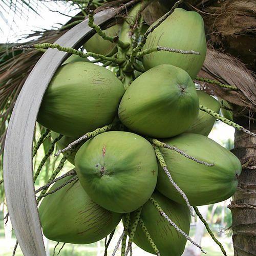 Raw Coconut in Delhi, कच्चा नारियल, दिल्ली