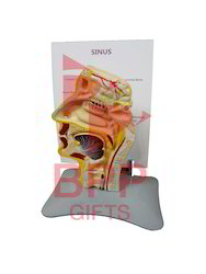 Sinus Anatomy Model