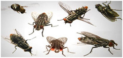 Flies Management Services