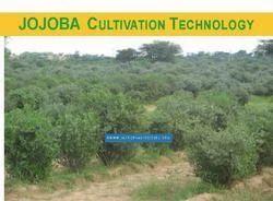 Jojoba Cultivation Technology