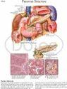 Pancreas Chart