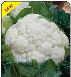 Daksh F1 Cauliflower