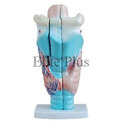 Human Larynx Model Magnified Models
