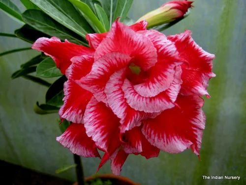 Flowering Plants Grafted Hybrid Adenium Exporter From Howrah