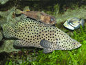 Panther Grouper Aquarium Fish