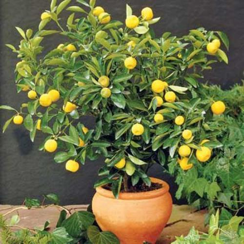 fruit plants  chakotra plant manufacturer from delhi, Natural flower