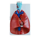 Larynx Heart and Lungs Models