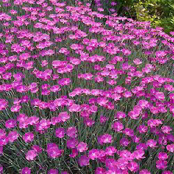 dianthus magic charm
