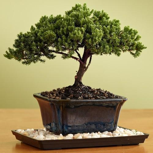 Bonsai Plants In Mumbai बनसई पध मबई