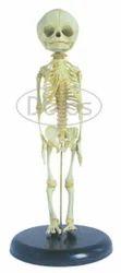 Foetal Skeleton