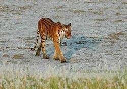 Tigers of Sunderban