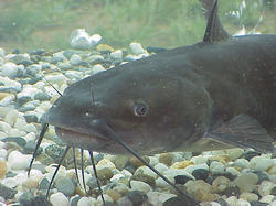 Cat Fish (High Breed Mangoor)