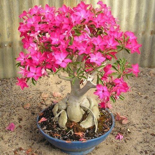 Adenium Plant - Adenum Plant, Idaneum Plant Retailers in India