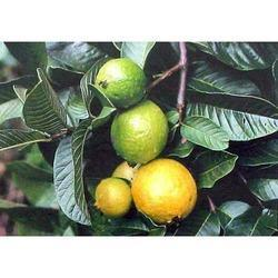 Organic Fresh Guava