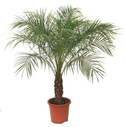 Indoor And Decorative Plants Budded Amla Manufacturer From Ahmedabad