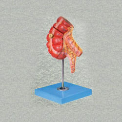 Appendix & Caecum Anatomy Model