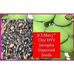 Jatropha Improved Seeds