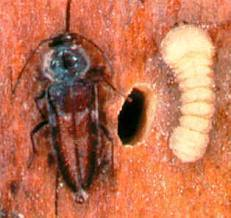 Wood Borer Management
