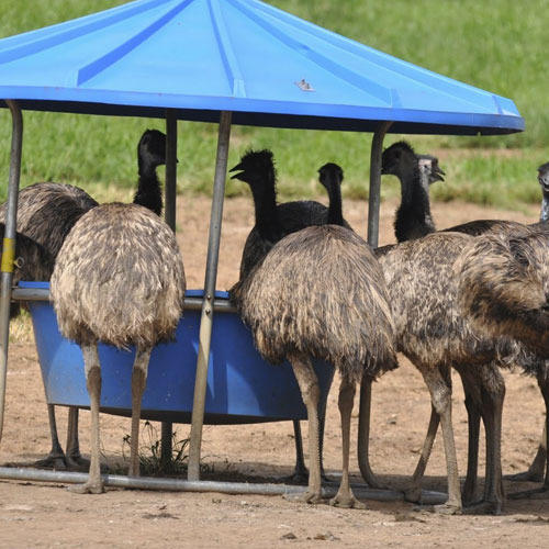 bf37a66032 EMU Bird Farming in India