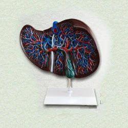 Liver Anatomy Model
