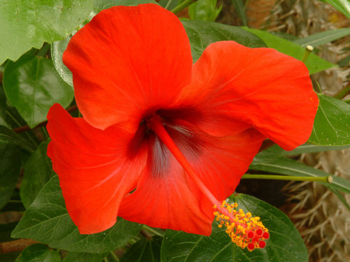 Hibiscus Rosa Sinensis Flower Extract Kisalaya Herbals Limited