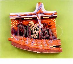 Placenta Models