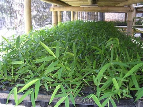 Bamboo Tissue Culture Plants
