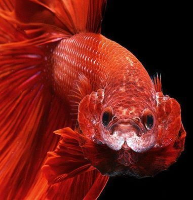 Fighting Fish View Specifications Details Of Aquarium Fish By