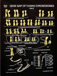 Genetics Charts